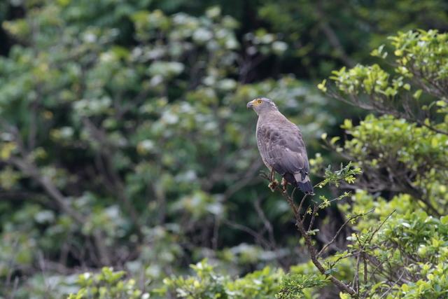 カンムリワシ成鳥 (8)