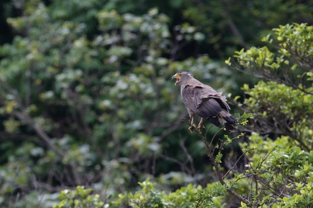 カンムリワシ成鳥 (9)
