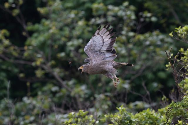 カンムリワシ成鳥 (10)