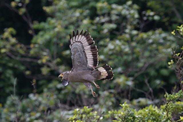 カンムリワシ成鳥 (11)