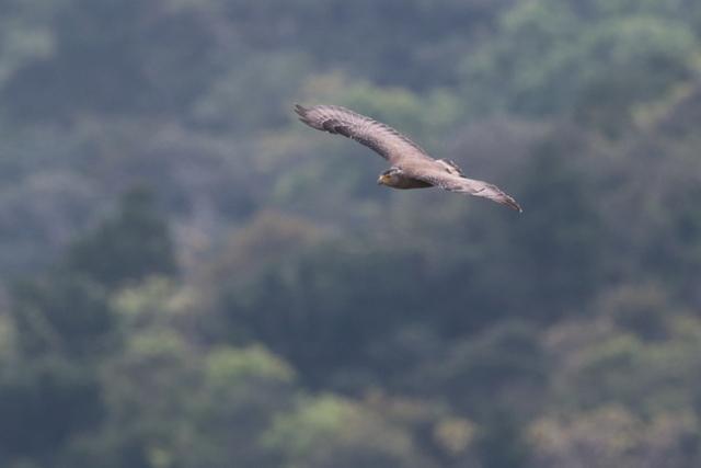 カンムリワシ成鳥 (12)