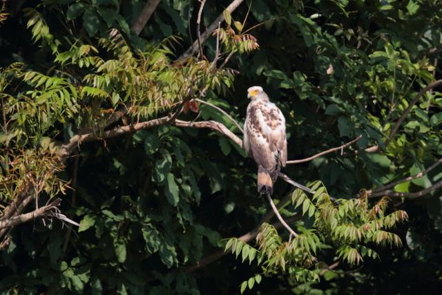 カンムリワシ幼鳥 (1)