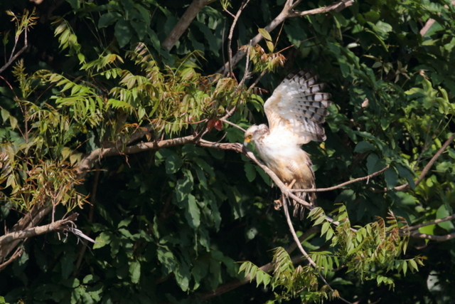 カンムリワシ幼鳥 (2)
