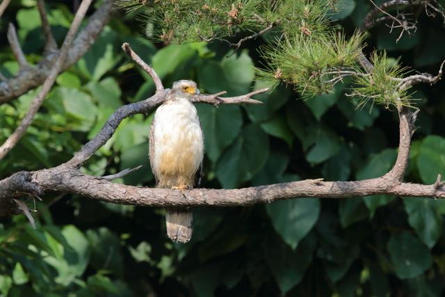 カンムリワシ幼鳥 (3)