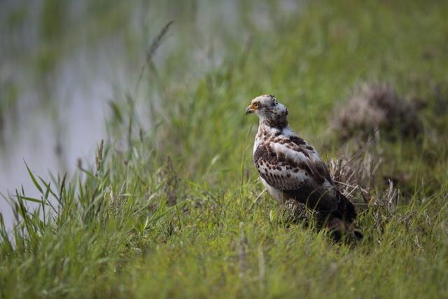 カンムリワシ幼鳥 (5)