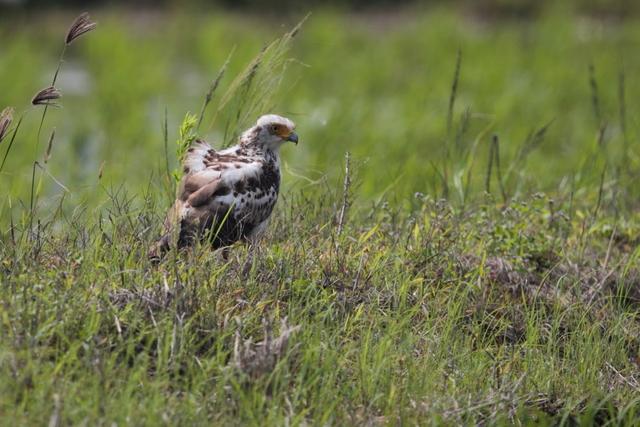 カンムリワシ幼鳥 (6)