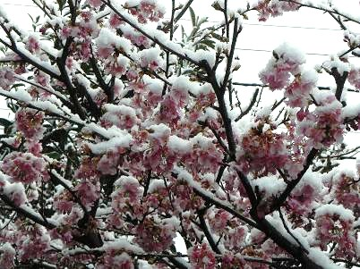河津桜225雪