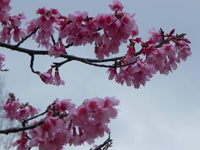 312おかめ桜近景