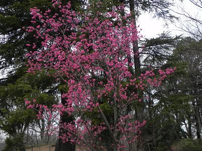 312寒緋桜遠景