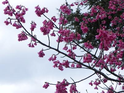 312寒緋桜近景