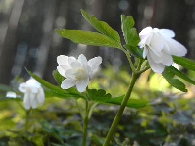 アズマイチゲ未開花
