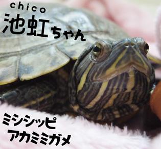 プロフィールチコちゃん