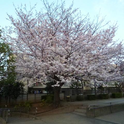 2015年3月の西太子堂公園の桜s480