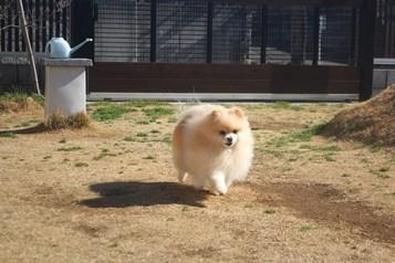琥珀飛行犬