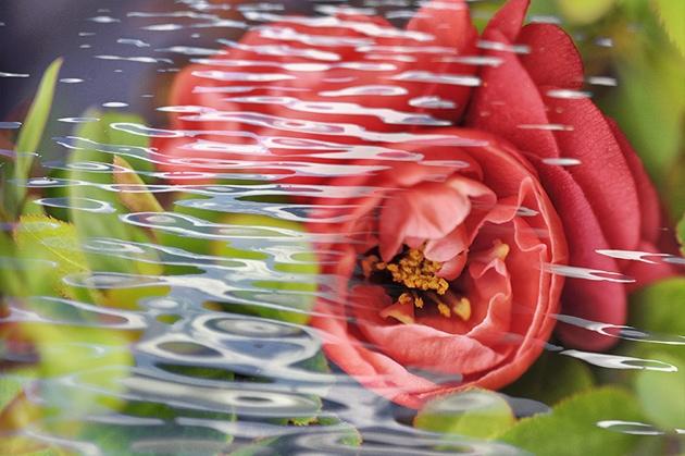 木瓜の開花