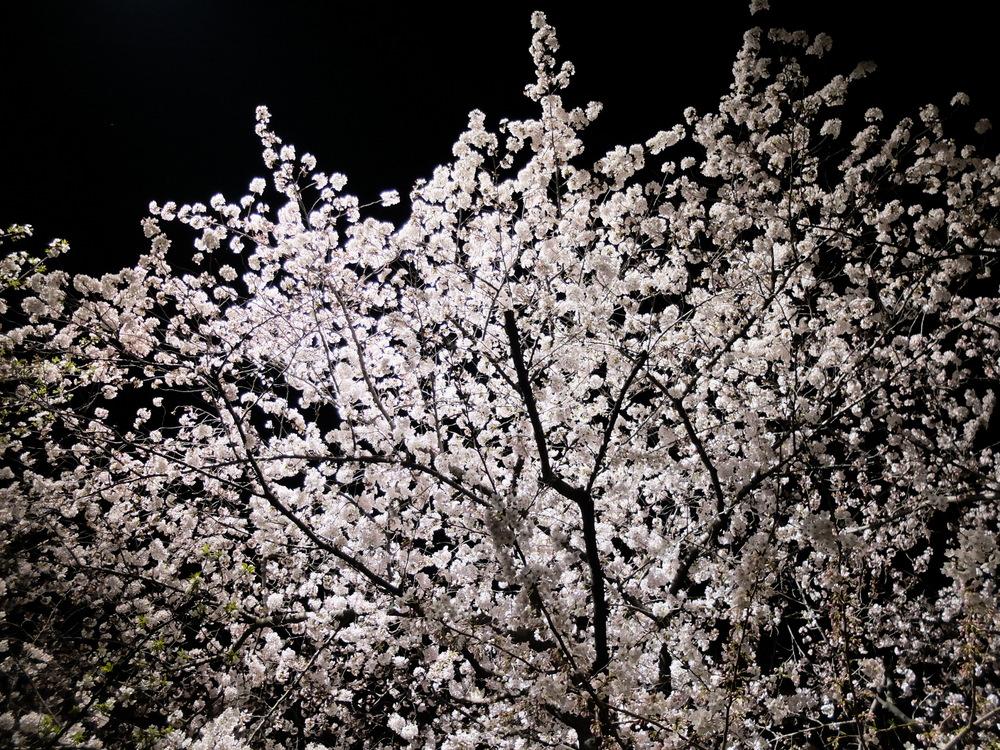 目黒川夜桜02