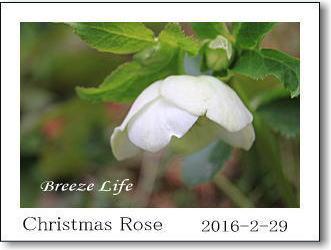 christmasrose2016229a.jpg