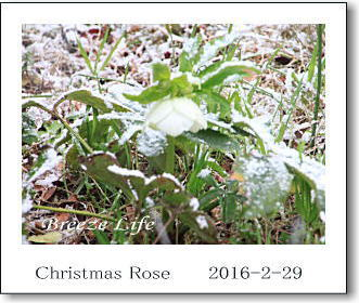 christmasrose2016229c.jpg