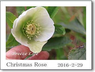 christmasrose2016b.jpg