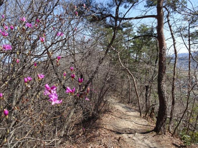 ミツバツツジ咲く道