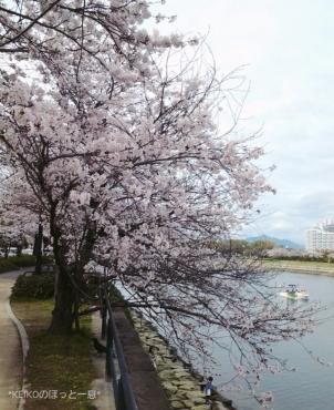 桜さんぽ8