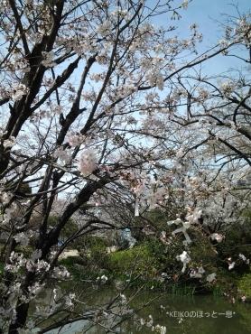 桜さんぽ2