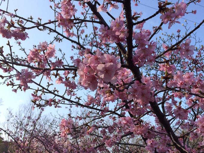 運動公園桜0308-2