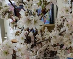 20160316病院桜