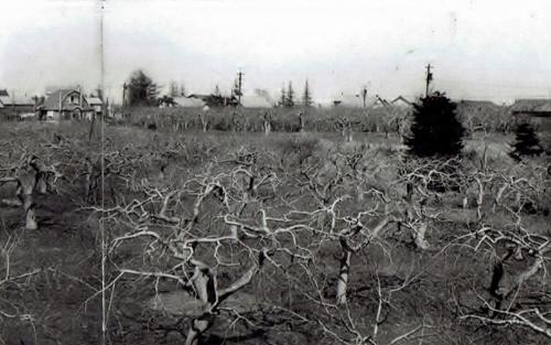 平岸 昭和30年代 リンゴ園