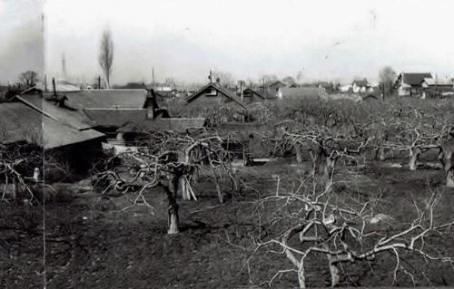 平岸 昭和30年代 リンゴ園②
