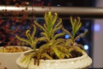 1st Exhibition of Winter Drosera