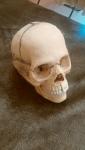 頭蓋骨模型
