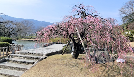 枝垂れ梅 (3)