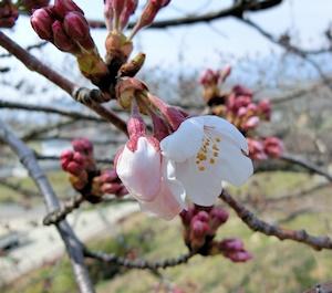 千塚の桜 (2)