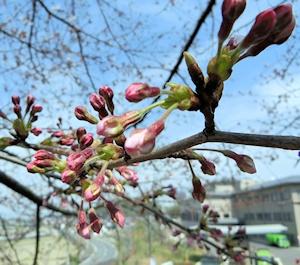 千塚の桜 (4)