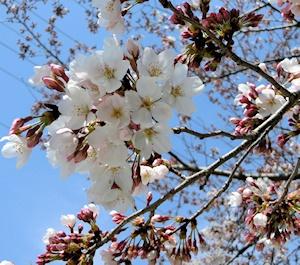 千塚の桜 (5)