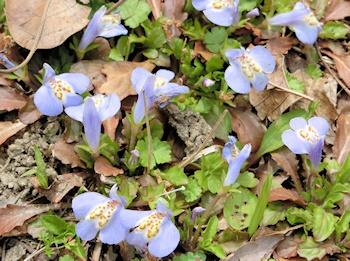 紫鷺苔ムラサキサギゴケ