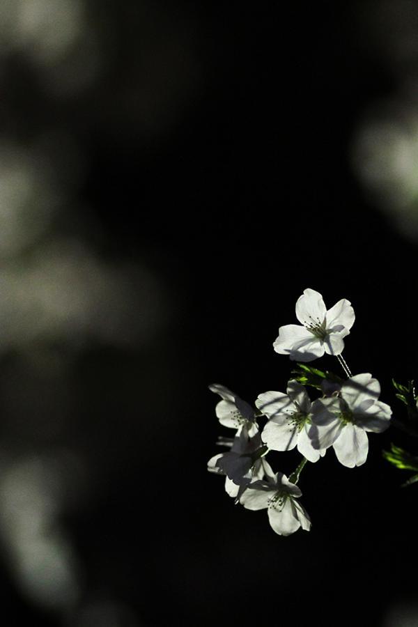 1604夜桜1_convert_20160403235823