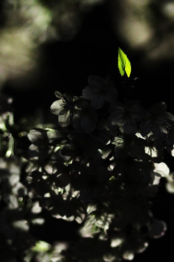 1604夜桜2_convert_20160403235926