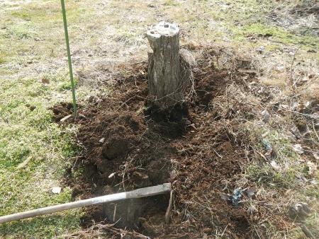 果樹の伐採と剪定 (1)