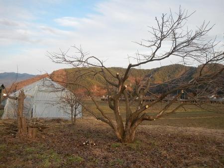 果樹の伐採と剪定 (13)