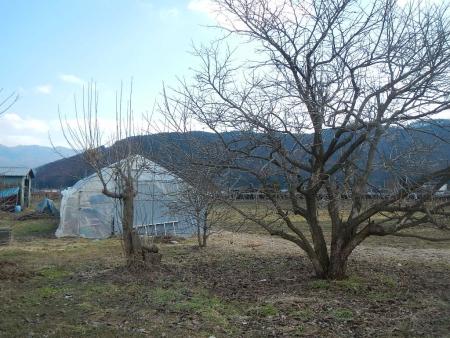 果樹の伐採と剪定 (7)