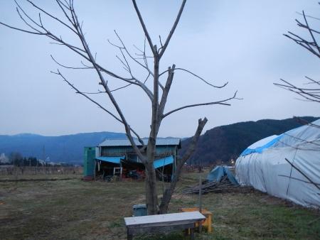 胡桃の木剪定