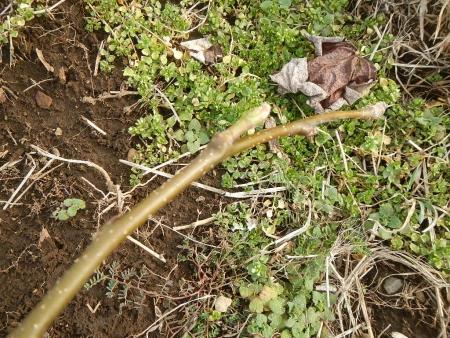 梨の木挿し木 (2)