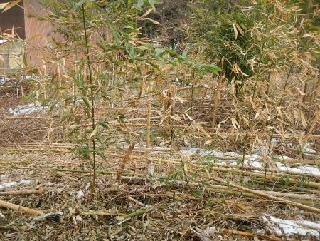 竹整備 (1)
