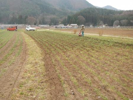 麦除草作業 (2)