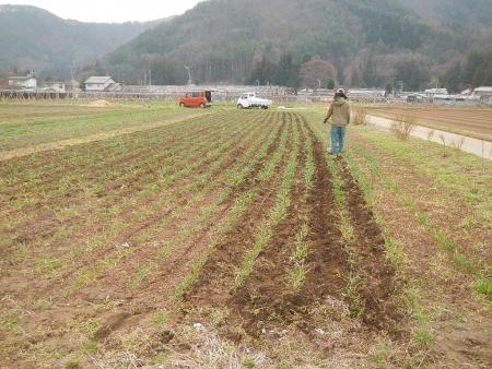 麦除草作業 (1)