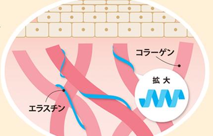 エラスチンナイト 肌の中の図