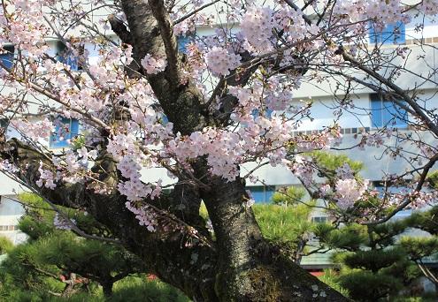 ホテル前の桜