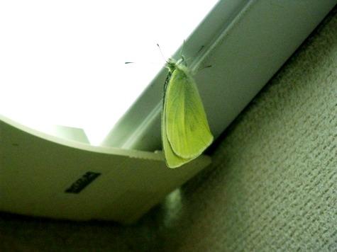 201603020 迷い込んだ蝶 005-2